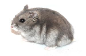 Vinterhvid dværghamster | Dansk Hamster Forening
